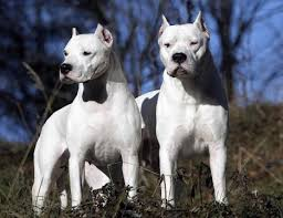 Dogo argentini